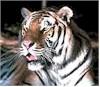 Curiozitati saptamanale la util21.ro - tigrul